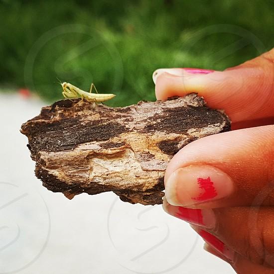 baby praying mantis photo