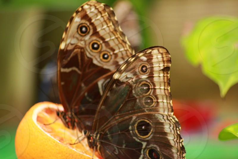 two brown eyeball butterflies on a blood orange photo