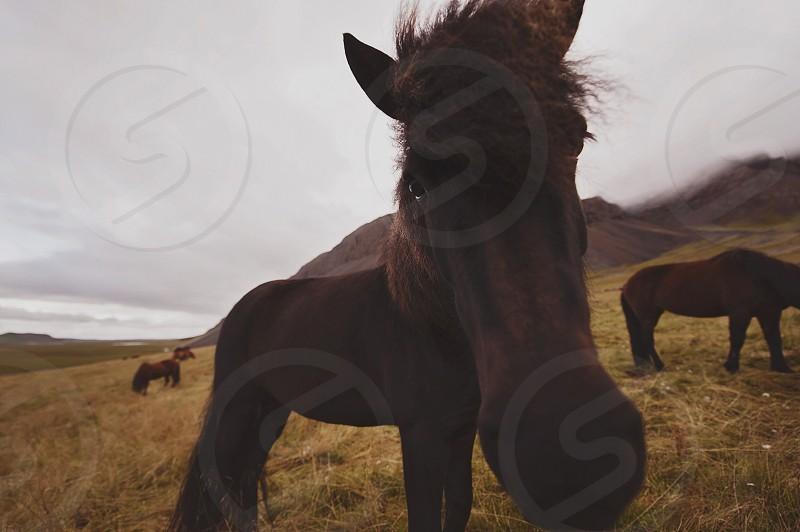 Horse Iceland wild wilderness photo