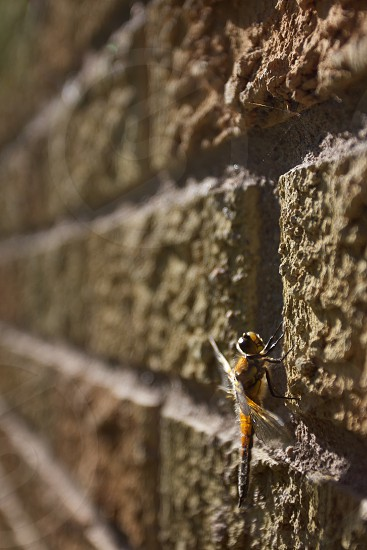 macro yellow dragon fly photo photo