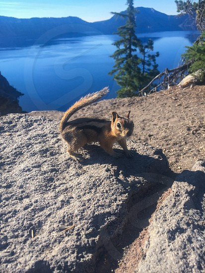 Outdoor day colour vertical portrait chipmunk rodent animal creature critter fur furry cute curious curiosity rock rocky tail Crater Lake geology caldera lake Chemult Klamath County Klamath Oregon OR West western United States US USA America North America road trip travel tourism tourist wanderlust blue summer trees evergreen nature natural  photo