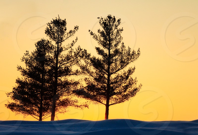 Three pine trees in snow are silhouetted against and orange sunset photo