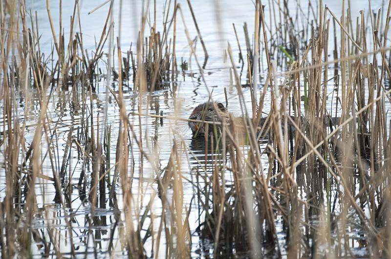 Coypu Animal Eating Green Leaves between Dry Reeds photo