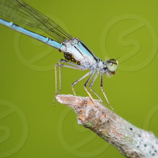blue damselfly photo