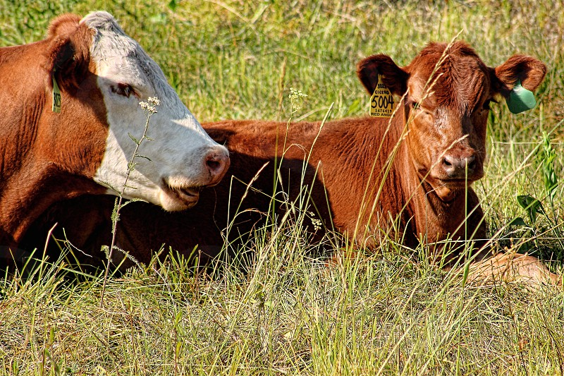 A white faced cow seems to the talking to a small cow lying next to it is the tall grass. photo