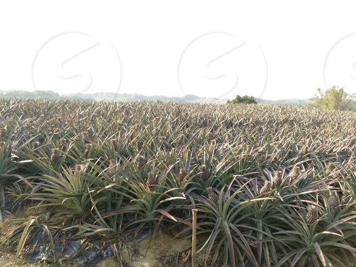 pineapples photo
