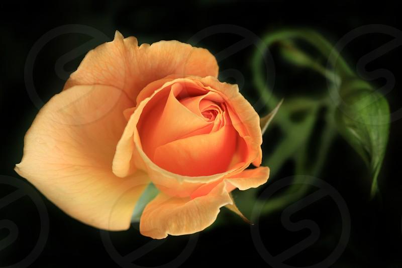 orange rose in tilt shift lens photo