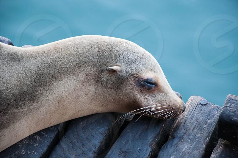 sleeping seal on pier photo