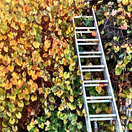 gray ladder against green and yellow vine photo