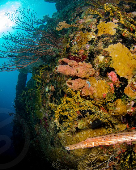 A trumpet fish on a shipwreck in the Florida Keys. photo