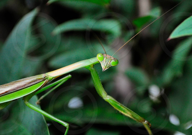Insect Praying Mantis photo