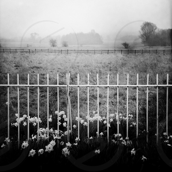 Daffodils at the foot of a white metal rail fence in the foreground with foggy Lincoln West Common in the distance photo