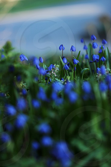 patch of blue flowers photo