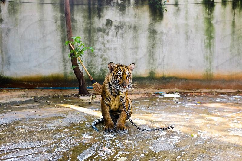 Tiger Temple. Kanchanaburi Thailand. photo