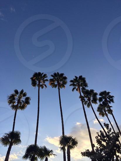 California Palm Trees photo