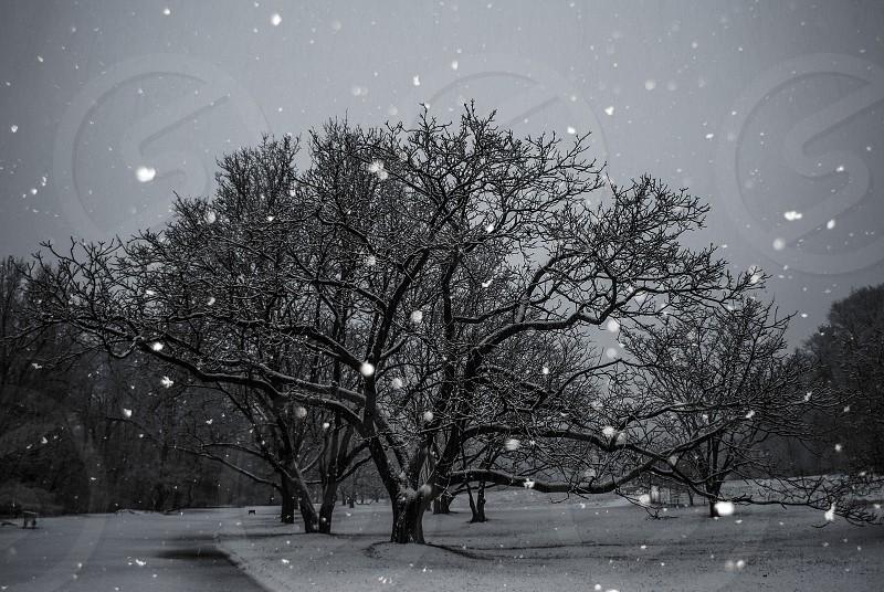 Falling snow giant tree photo