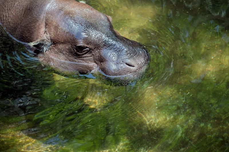 Pygmy Hippopotamus (Choeropsis liberiensis or Hexaprotodon liberiensis) photo
