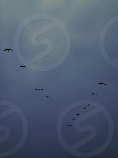 black birds flying doing triangle formation photo