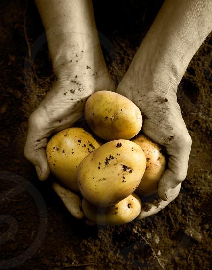 yellow potato photo
