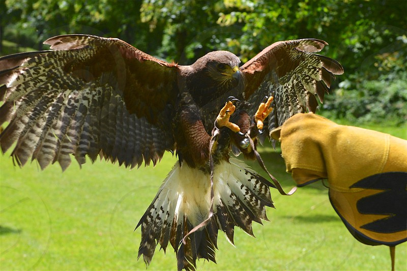 Harris Hawk coming in for a landing - Ireland photo