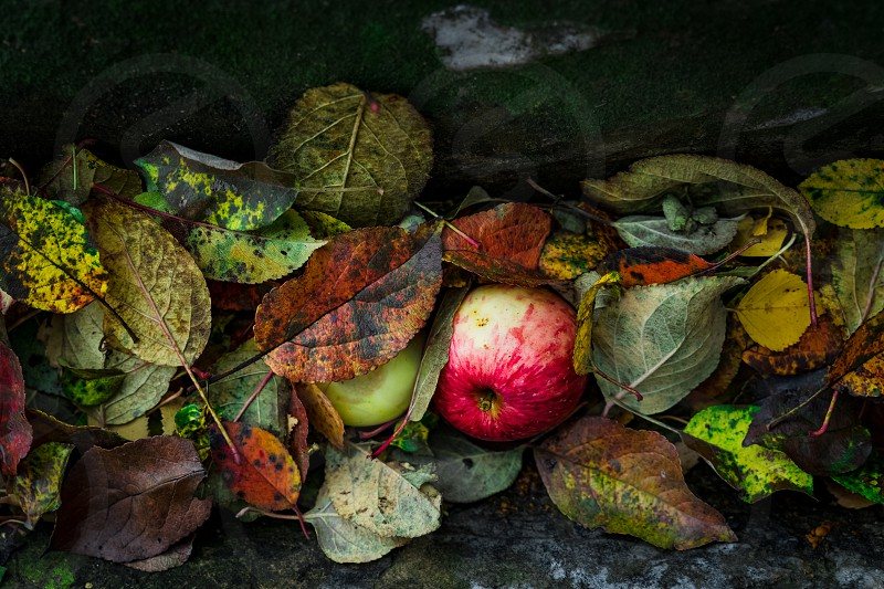 Red apple on fallen leaves photo
