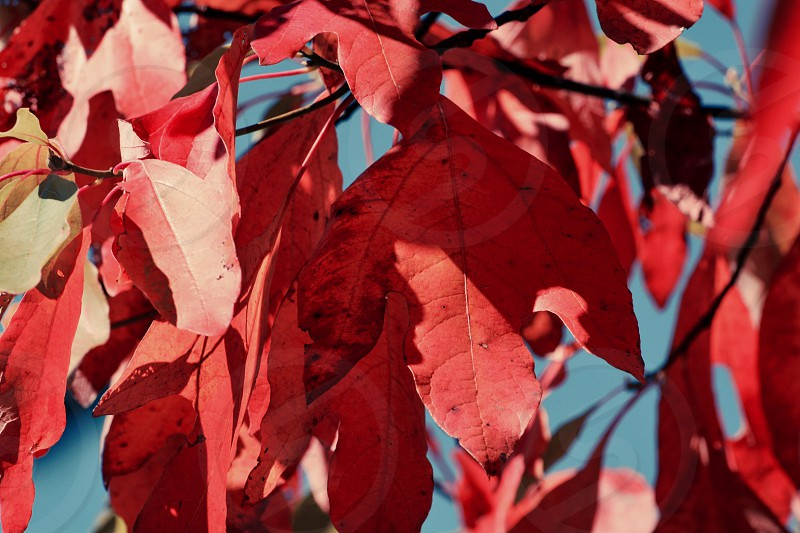Fall foliage red leaves photo