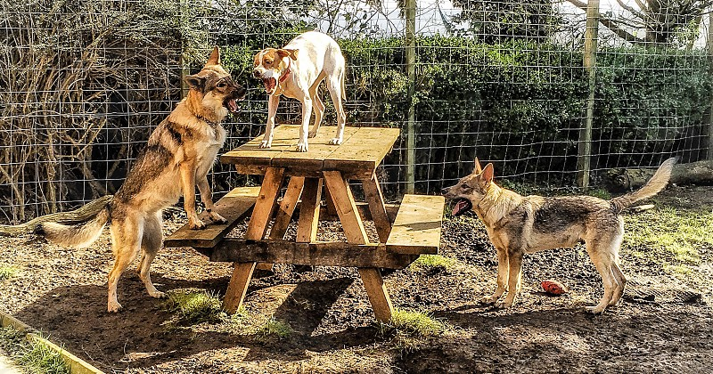 three dogs on brown picnic table photo