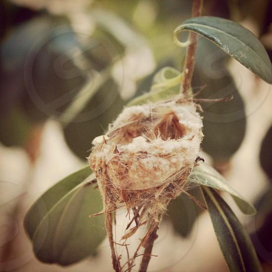 Hummingbird nest  photo