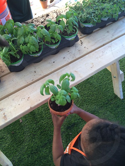 Basil plant in young child hands ( row of basil plants ) photo