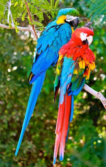 scarlet macaw and blue gold macaw both perch on tree branch during daytime photo