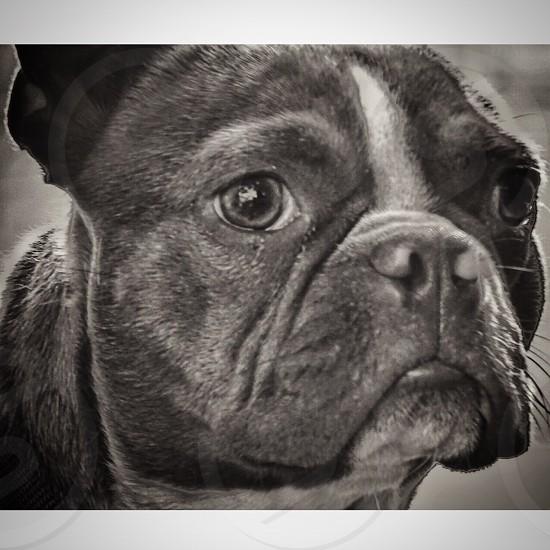 grayscale photo of dog photo