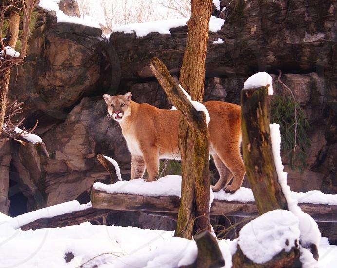 puma cougar mountain lion cats bigcats photo