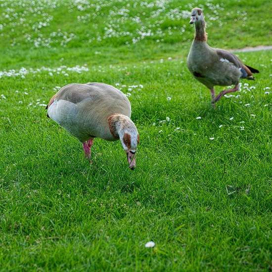 Egyptian Geese (alopochen aegyptiacus) Wandering through the Grass photo