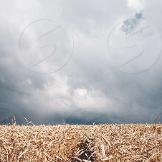 wheatfield under white and blue sunny cloudy sky photo