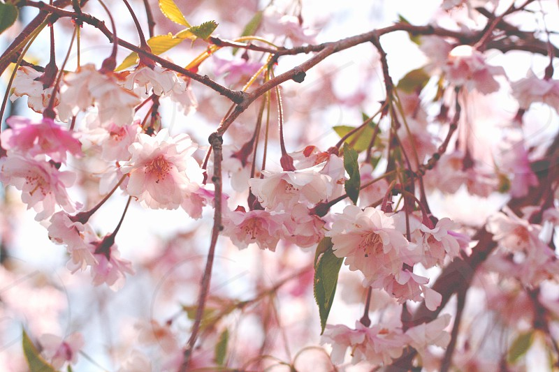 Small pale pink cherry blossom flowers on spring tree. photo