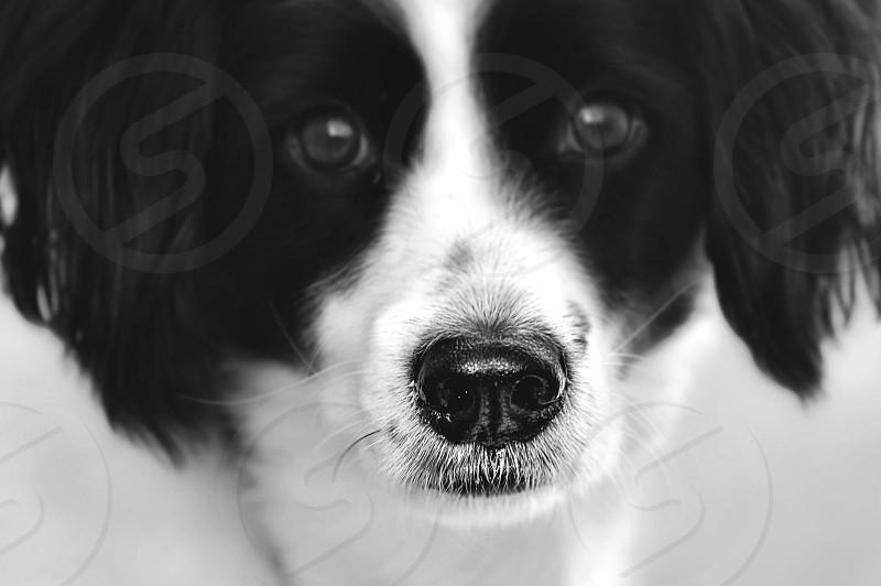 Domino. Dog Nose. photo