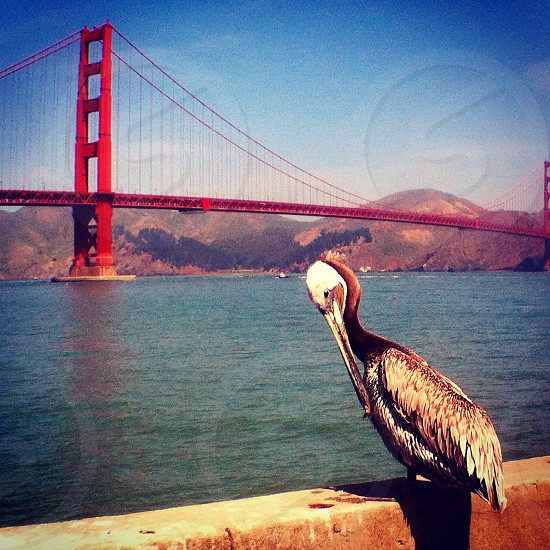 Pete the Pelican and his perch in front of the Golden Gate Bridge photo