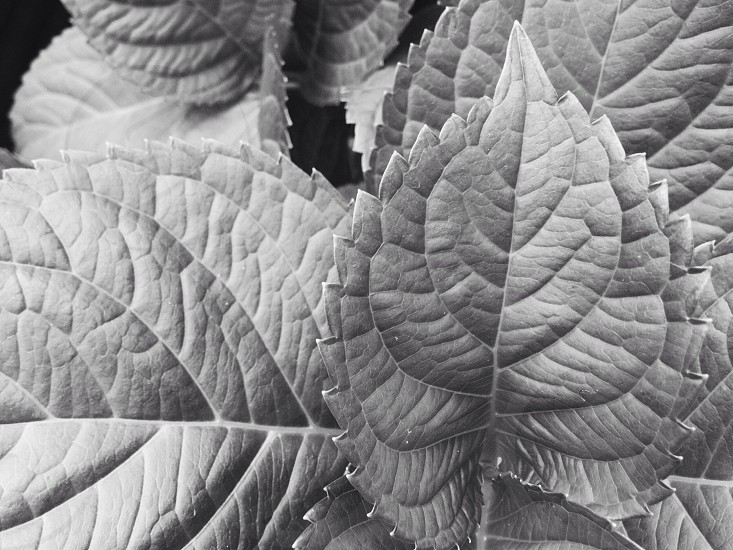 Leaves in black and white photo