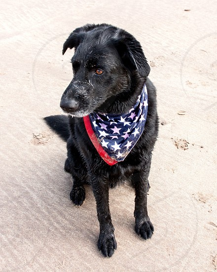 Black dog on beach wearing American flag bandana photo
