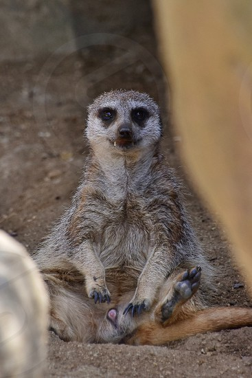 photo of meerkat sitting on ground photo