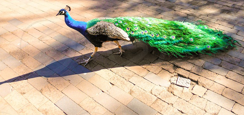 green white and blue peacock photo