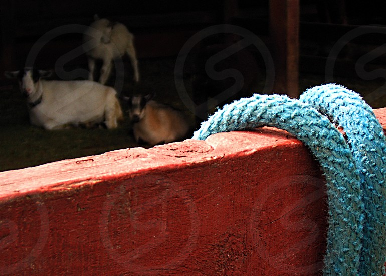 Foreground with ablue rope over a red wooden fence Three goats watch in the background photo