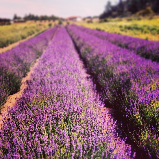 Lavender fields farm purple photo
