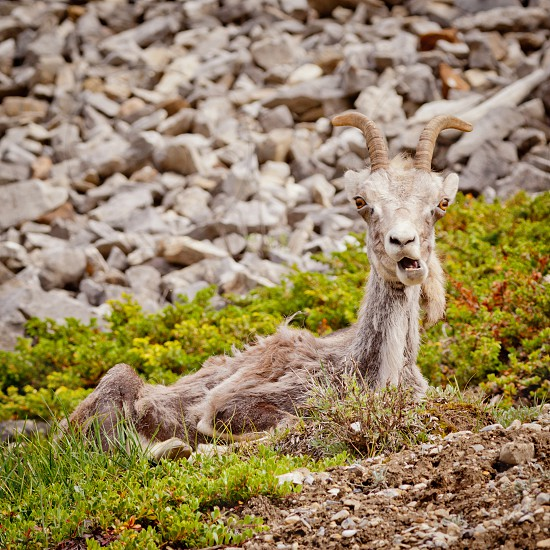 Female Stone Sheep Ovis dalli stonei or thinhorn sheep resting and curiously watching with funny expression wildlife of northern Canadian Rocky Mountains British Columbia Canada photo