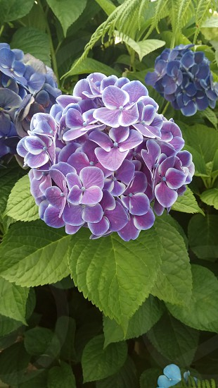 Colourful Hydrangea photo