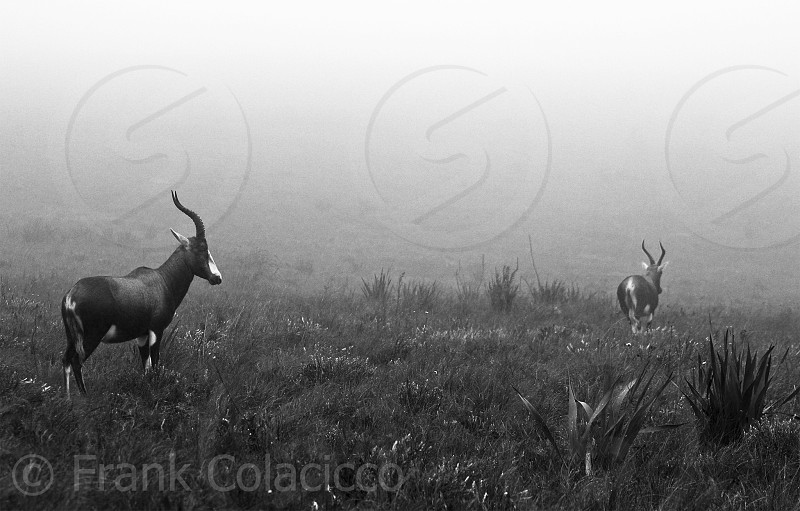 antelope  on green fields in gray scale photography photo