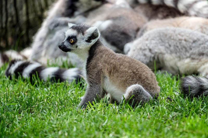 Ring-tailed Lemurs (Lemur catta) at the Bioparc in Fuengirola photo