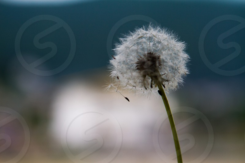 Dandelions flower photo