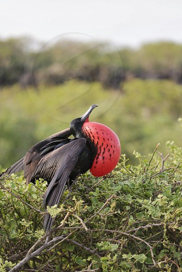 selective focus photography of magnificent frigatebird photo
