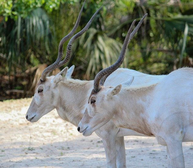 white deer with black spiral horns photo